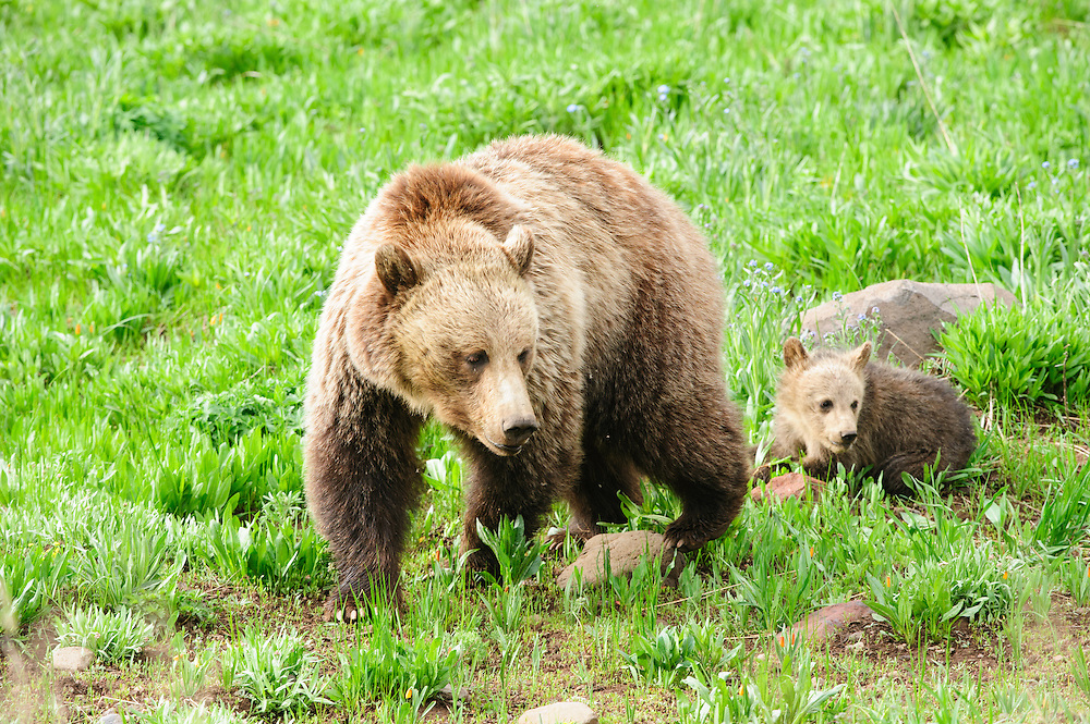 A grizzly bear sow (Ursus arctos) with her cub, Yellowstone National Park, Wyoming
