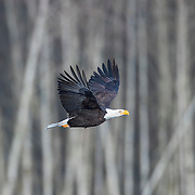 An adult bald eagle (Haliaeetus leucocephalus) flies past bare winter trees along the Nooksack River near Welcome, Washington. Hundreds of bald eagles winter in the area to feast on spawned-out salmon.
