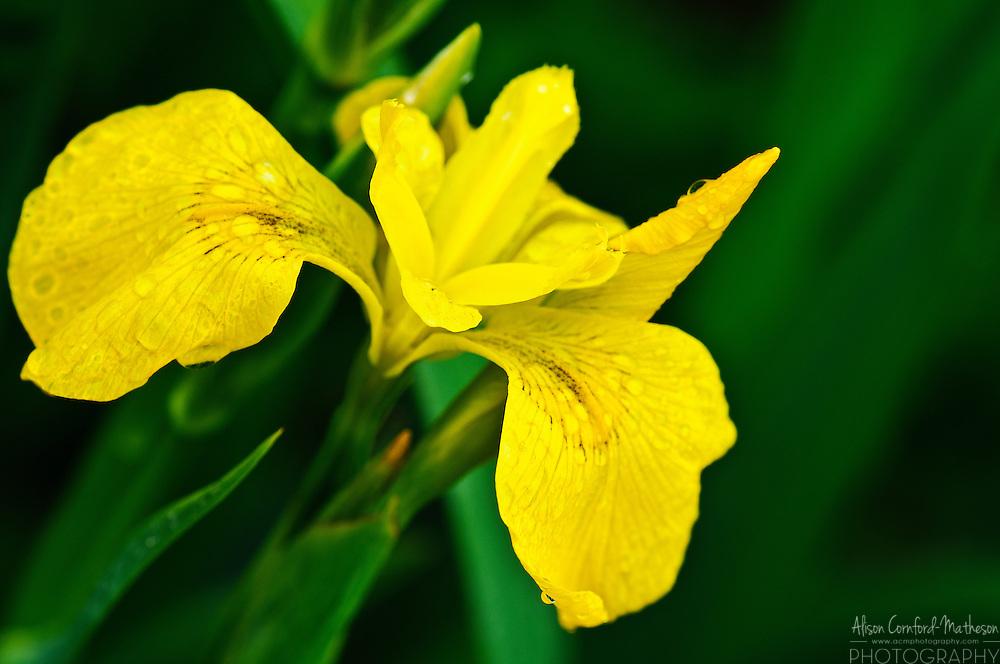 Yellow Siberian Iris | Alison Cornford-Matheson