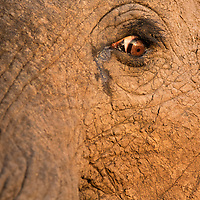 South Africa, Kruger National Park, Close-up of eye of African Elephant (Loxodonta africana) at sunset