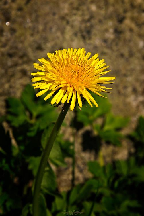 Dandelion, sing of spring.
