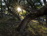 Sunstar through lenga trees, Los Glaciares National Park, Argentina