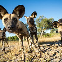 Africa, Botswana, Moremi Game Reserve, A pack of Wild Dogs (Lycaon pictus) warily approach remote camera near banks of Moremi River