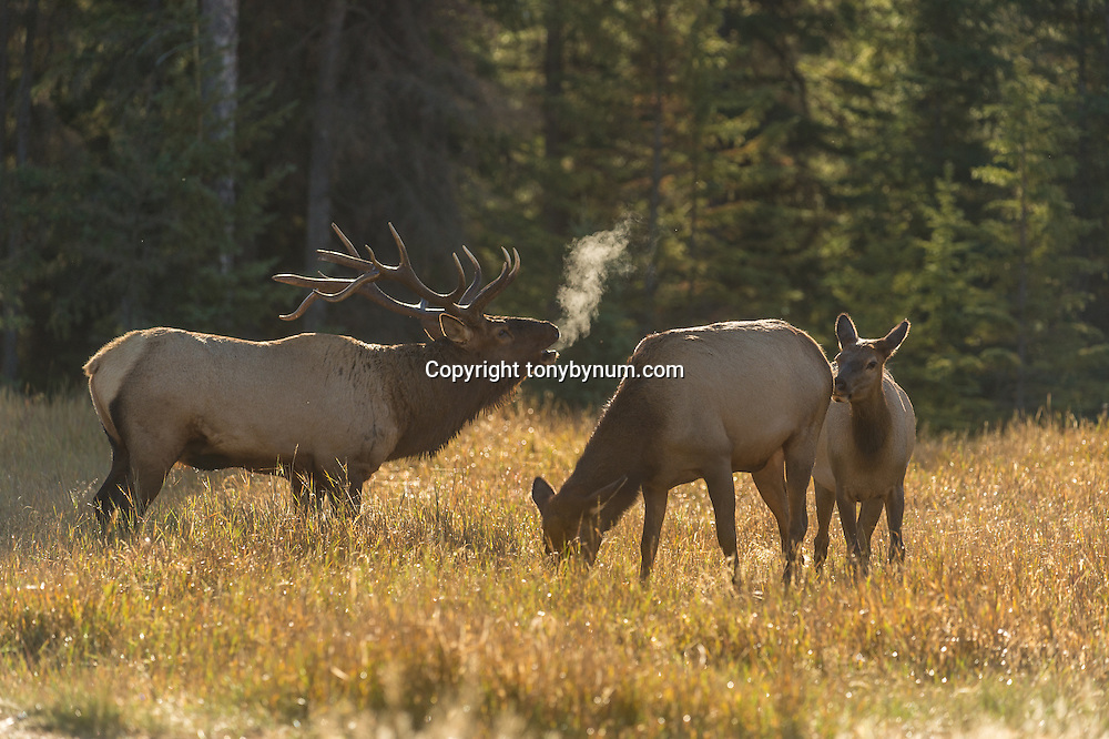 bull elk bugling backlit steam with cow and calf in meadow