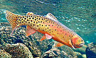 Greenback Cutthroat Trout<br /> <br /> Patrick Clayton/Engbretson Underwater Photography