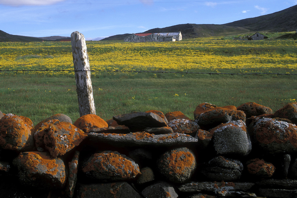 Europe, Iceland, Snæfellsnes Peninsula, Orange lichens cover stone fence by field of yellow wildflowers along Hraunsfjord