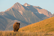 A bull bison (Bos bison) in front of the Mission Mountains range, National Bison Range