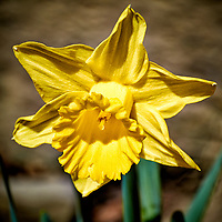 Daffodil Bloom. Backyard winter nature in New Jersey -- spring must be coming. Image taken with a Nikon 1 V1 camera and 30-110 mm VR lens (ISO 100, 110 mm, f/5.6, 1/640 sec).