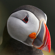 An Atlantic Puffin (Fratercula arctica) looks out from its perch on a grassy bluff in Látrabjarg, Iceland. Atlantic Puffins are known for their colorful bills, which are especially colorful during the breeding season. About 60 percent of all Atlantic Puffins nest in Iceland.