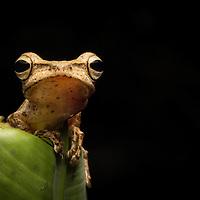 Treefrog, Polypedates leucomystax, from Palawan, the Philippines