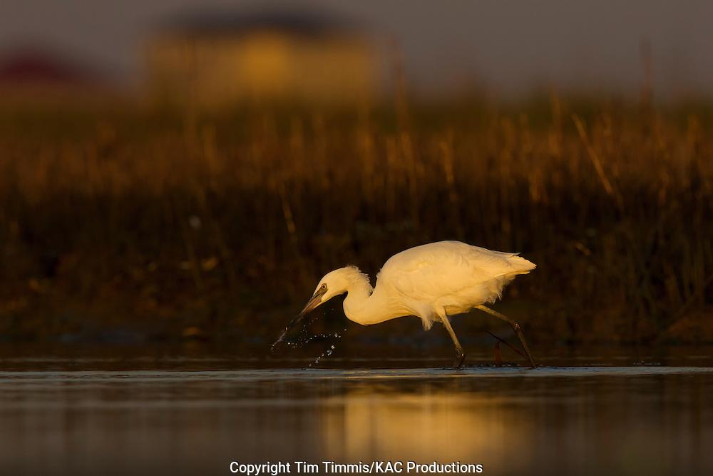Reddish Egret, white morph, Egretta rufescens, Bolivar Flats, Texas gulf coast, fishing, splashing water, golden light