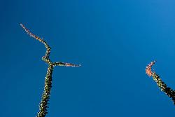 Ocotillo (Fouquieria splendens) pointing, Anza Borrego Desert, California, USA
