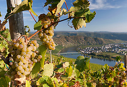 View of Piesport village from vineyard  in Mosel Valley in Germany