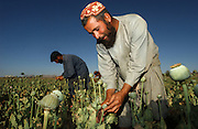 Afghan farmer Abdul Samad (r) prepares poppy bulbs for harvest by scoring them with razors in the field May 16, 2002 near the city of Kandahar, in southern Aghanistan. Despite Afghan and coalition efforts at eliminating the crops used to produce opium and heroin, Afghan farmers in Southern Afghanistan continue to embrace poppies for their high cash value and hardiness.