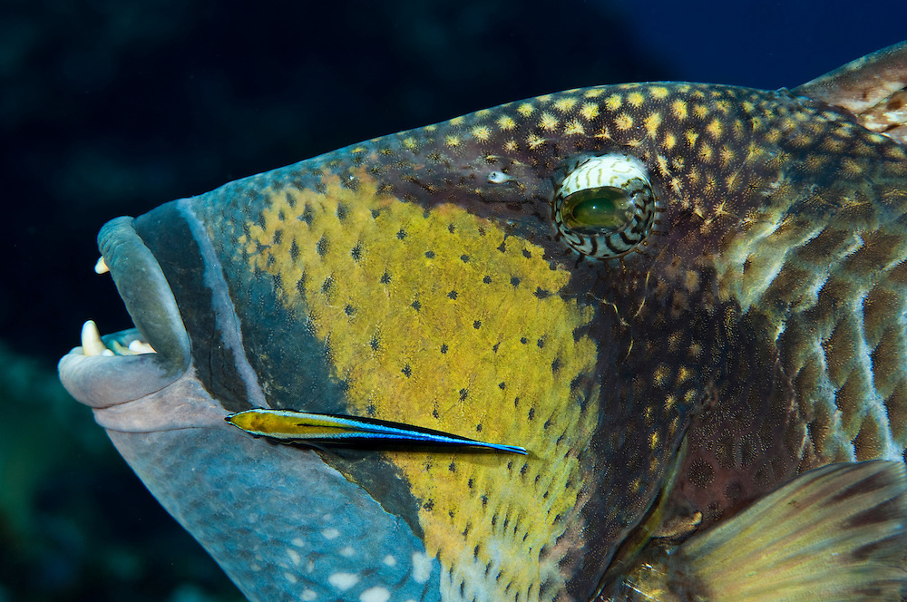 Titan triggrfish use their large teeth to break off and eat pieces of hard and soft coral, as well as attack and drive off predators.  Like many reef fish they use the services of cleaner wrasse to remove parasites and dead skin from the surface of their bodies.