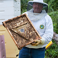 Frank Mortimer, Apiarist working his Bee Hives in Upper SaddleRiver, New Jersey.  Here he examines the be covered roof top of one of his hives.