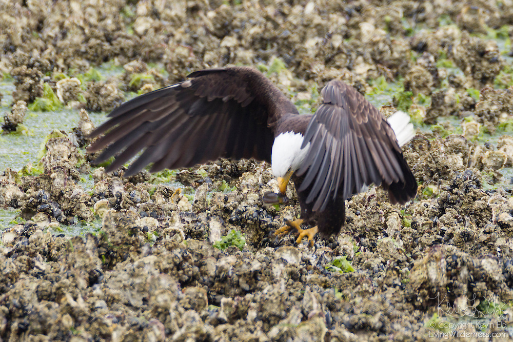 A bald eagle (Haliaeetus leucocephalus) catches a midshipman fish trapped in an oyster bed in the Hood Canal near Seabeck, Washington. Hundreds of bald eagles congregate in the area on Washington's Olympic Peninsula early each summer to feed on the migrating fish that get trapped during low tides.