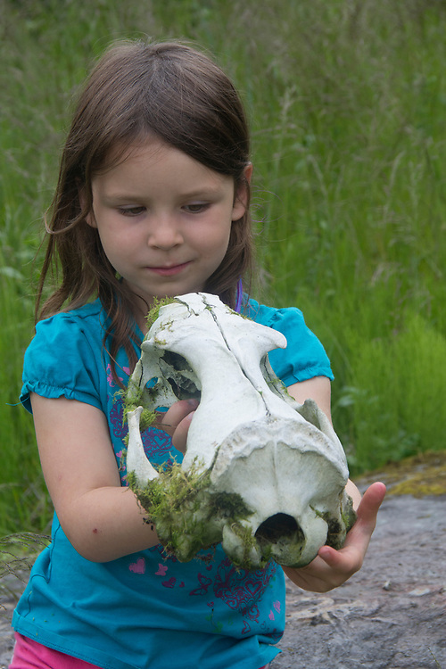 A young girl studies the skull of a steller sea lion (Eumetopias jubatus) MR