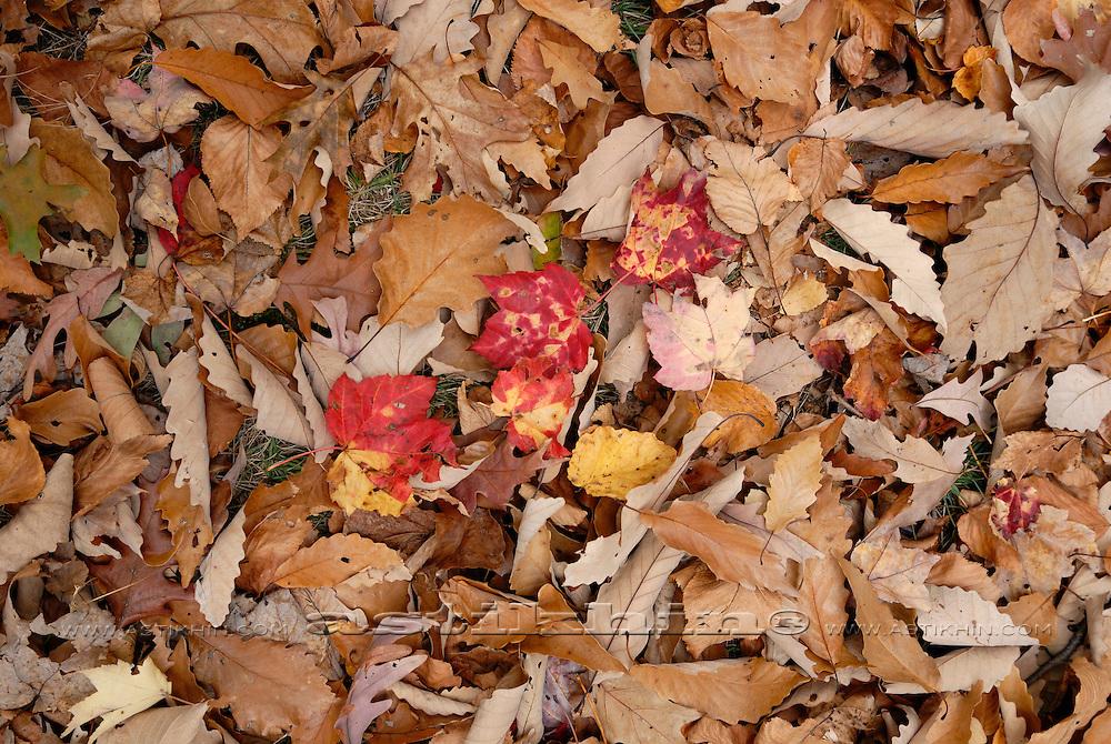 Maple leafs on oak leafs