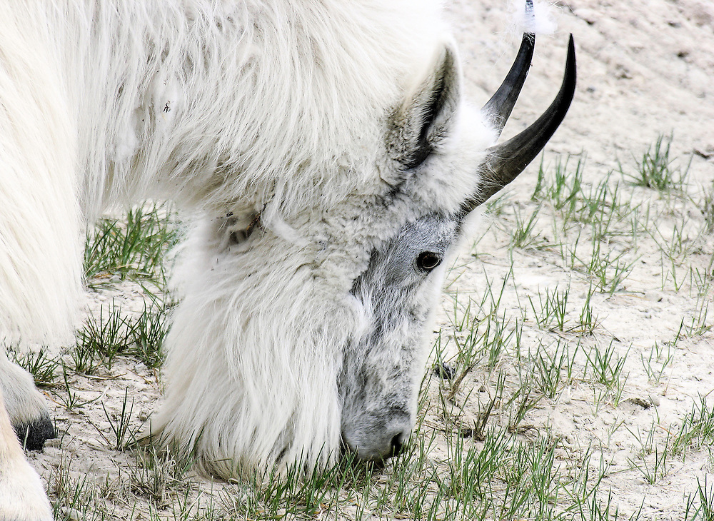 A hungry mountain goat in Alberta, Canada.