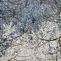 Snow covers branches and trees in this winter forest scene taken near Glacier, Washington, USA.