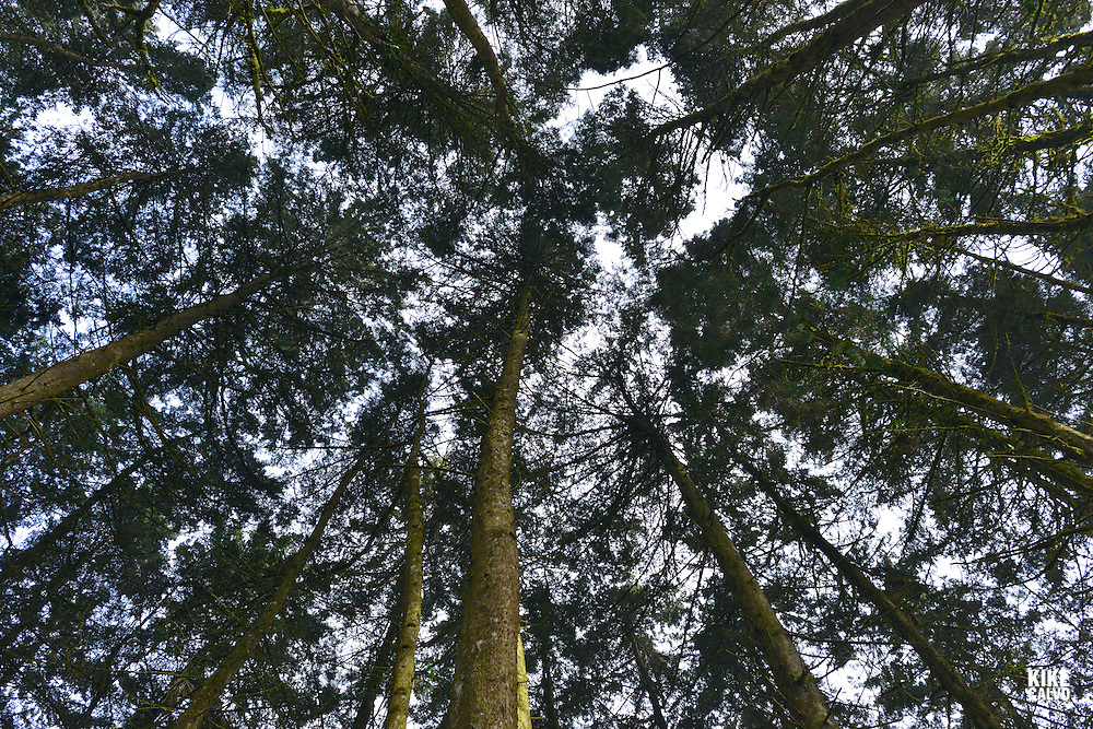 Forest Canopy seen from below.