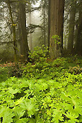 Del Norte Coast Redwood State Park, forest, California