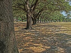 Oak Trees within Herman Memorial Park.