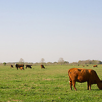 Vermilion Parish, Early Spring, Cows (3/2008)