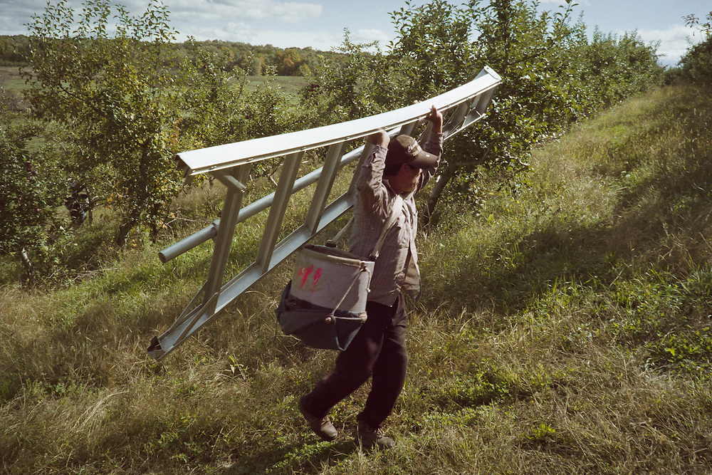 The trees are just high enough to necessitate the use of a ladder. Each picker carried one all day long. The apples are placed in a bin worn across the chest after picking and when the bin is full it is emptied into crates in the field via a trap door bottom. This limits the possible damage to the apples.