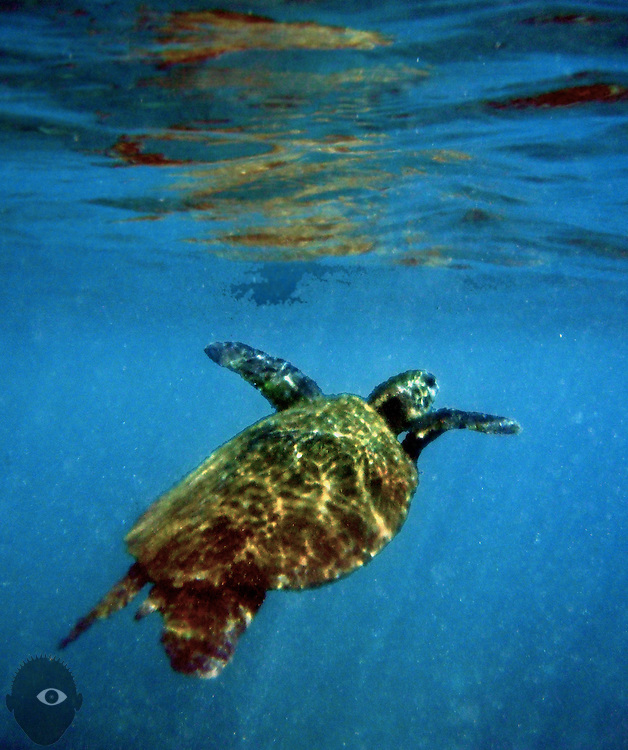 A green sea turtle slowly ascends to the surface for a look around and fresh air while swimming in the waters along the Black Sand Beach.
