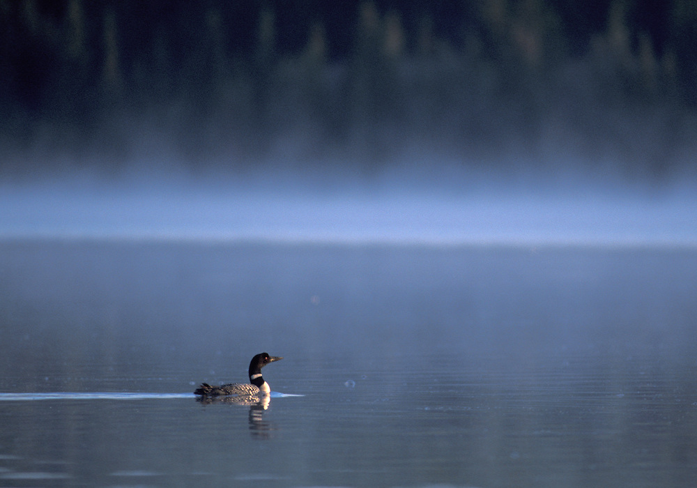 Loon and morning mist, Clearwater Lake,British Columbia,Canada