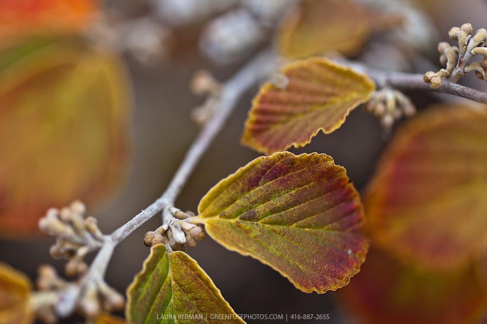 The bright orange fall foliage of Copper Beauty Spring Witch Hazel (Hamamelis × intermedia 'Jelena').