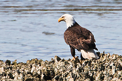 A mature Bald Eagle (Halietus leucocephalus) sits on an oyster bed at the edge of the Hood Canal, Seabeck, WA, USA