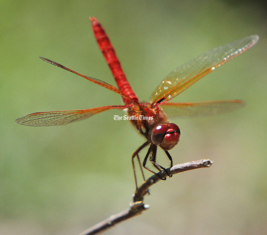 A cardinal meadowhawk dragonfly lands on a perch near a pond at Magnuson Park Seattle. At least 19 species of the insects call the park on Lake Washington home. (Steve Ringman/The Seattle Times)