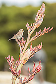 Red Poll Pictures - Photos