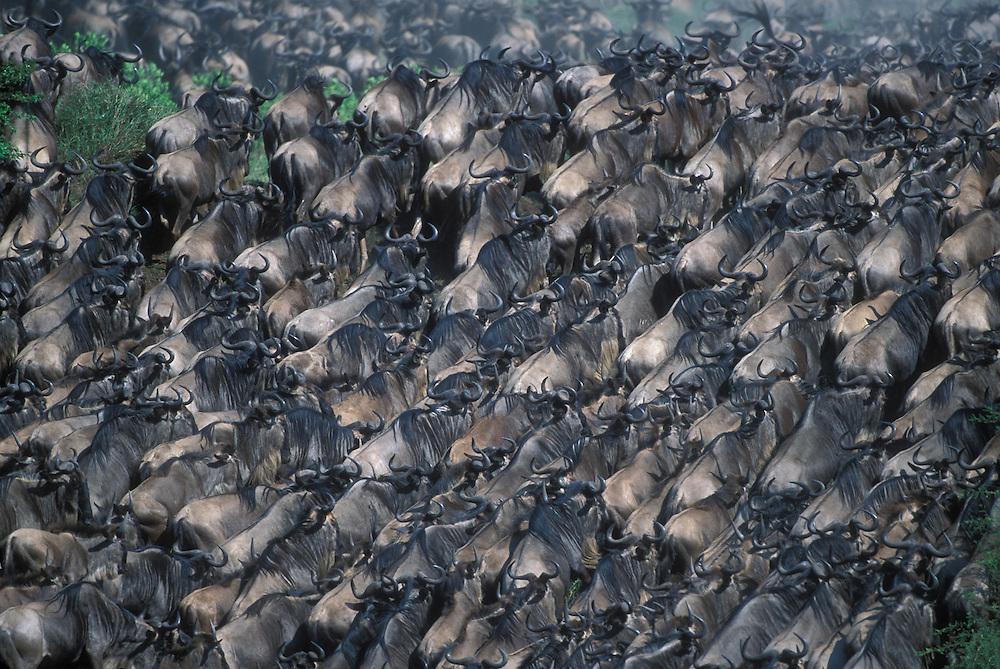 Kenya, Masai Mara Game Reserve, Huge Wildebeest herd (Connochaetes taurinus) crosses Telek River in Serengeti migration