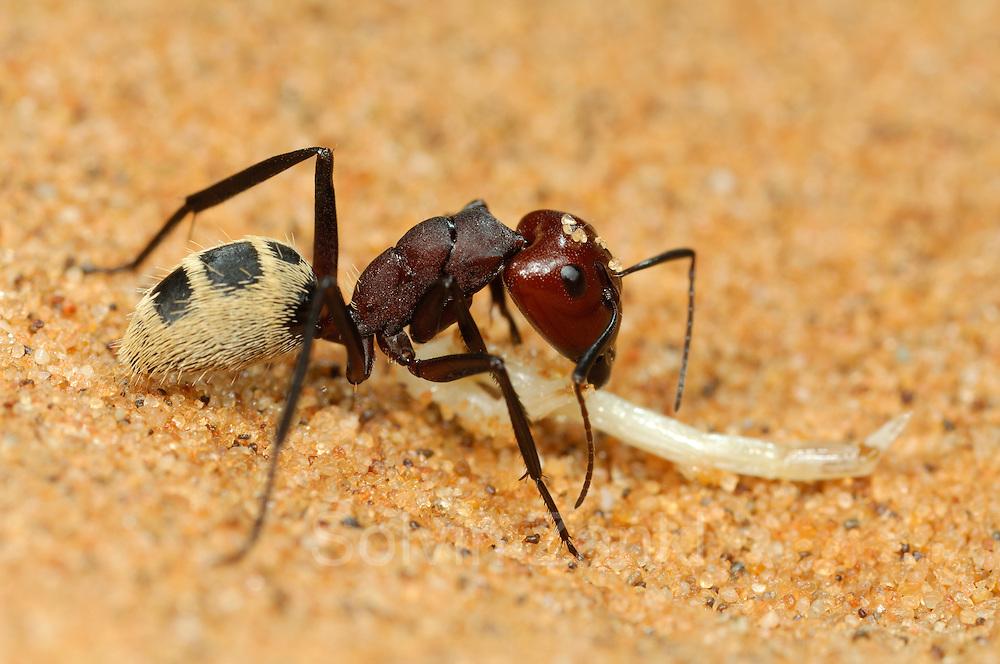 Die Namib Dünen-Ameise (Camponotus detritus) lebt in Staaten von mehreren tausend Individuen, die gemeinsam zwischen den Wurzeln von kleinen Büschen in der Sandwüste ihre unterirdischen Nester graben. Die über einen Zentimeter großen, auffälligen Tiere sind tagsüber aktiv und rennen, getragen von ihren langen Beinen, sehr schnell über den heißen Wüstensand. Meist laufen sie zielstrebig zum nächsten pflanzenbewachsenen Fleckchen, oft zu den großen Büscheln des Dünengrases, wo sie nach Nahrung suchen. Treffen sie dabei auf Dünen-Ameisen eines anderen Staates fangen diese wehrhaften und sehr aggressiven Tiere sofort an zu kämpfen. Zuweilen findet man, offenbar an den Grenzen zwischen benachbarten Territorien, im Sand eine ganze Linie von toten Ameisen. | Namib desert dune ant (Camponotus detritus) nests are simple structures excavated among the roots of perennial vegetation in the sand dunes of the Namib Desert. They comprise a series of tunnels and chambers 100?400 mm deep, often lined with detritus. No royal chamber or food stores were found. Brood was found throughout the nest, throughout the year. Nest temperatures varied considerably. Mean nest temperatures were about 32°C in summer and 20?23°C in winter. The number of workers per nest varied from 218 to 16,000 with a mean and standard error of 3,404±570. Each colony comprised one to four nests. Only one nest per colony housed queens. Colony expansion and nest relocation occurred frequently.