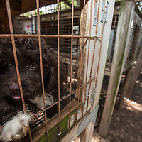 A dog in a pen during a raid on a puppy mill in Johnston, SC on Tuesday, Sept. 11, 2012. HSUS workers found over 200 dogs, nine horses and 30-40 fowl.