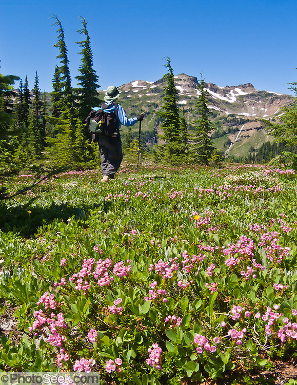 Hiking by pink heather flowers in Goat Rocks Wilderness Area, Washington. The peak is Hawkeye Point (7431 feet elevation).