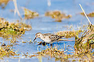 Least Sandpiper (Calidris minutilla) foraging on the tidal flats of Hartney Bay near Cordova in Southcentral Alaska  to refuel on the long spring migration to the arctic. Afternoon.