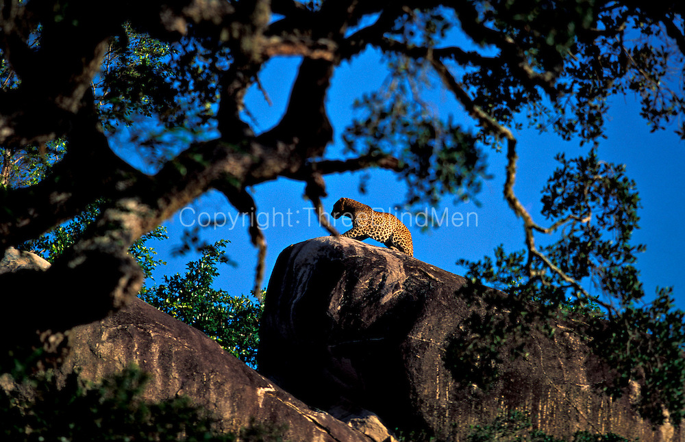 Sri Lanka. Leopard on Rock -Yala (Ruhuna) National Park.