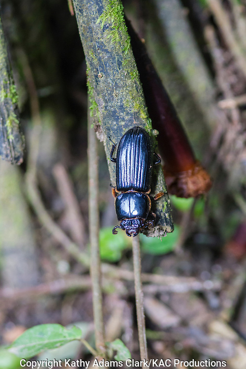 Beetle, unknown, Inkaterra Amazonia; Madre de Dios River; Peru; Reserva Ecologica Inkaterra