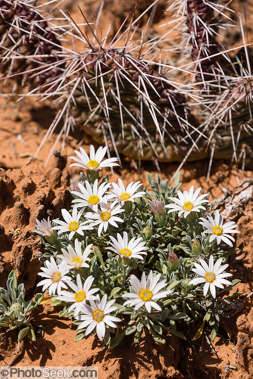 Easter Daisy / Townsendia incana. Hike upper Monument Canyon in Colorado National Monument, near Grand Junction and Fruita, Colorado, USA.