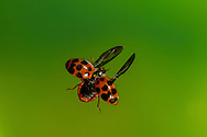 Multicolored Asian Lady Beetle (Ladybug) (Harmonia axyridis) flying<br /> ALABAMA: Tuscaloosa Co.<br /> Tulip Tree Springs; Elrod<br /> 23-January-2016<br /> J.C. Abbott &amp; K.K. Abbott
