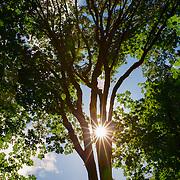 The sun shines through the trunk of a maple tree in Interlaken Park, Seattle, Washington.