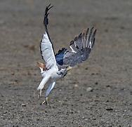 Augur Buzzard (Buteo augur) taking flight, Serengeti National Park, Tanzania, Africa