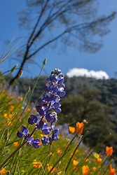 """""""Lupine and Poppies 1"""" - These wild Lupine and California Poppy flowers were photographed near Windy Pt. along the North Fork American River."""