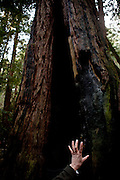 Ranger Mia Monroe points out a hollowed-out redwood in Muir Woods National Monument, January 26, 2011.