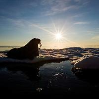 Norway, Svalbard, Edgeoya Island, Walrus (Odobenus rosmarus) on sea ice near Kapp Lee in midnight sun